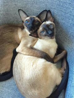 The Love Cats...love this pic so much! Siamese cats are so gorgeous