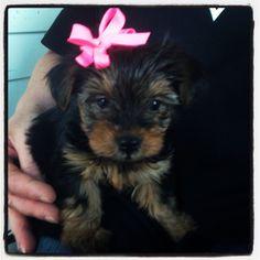 #yorkie #miniatureyorkie #yourkshireterrior #yorkshire #puppy #cute #dog #pet #animal