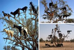 Picture #2 Before you jump to conclusions: no, these were not created by a bored geek in Photoshop. Amazingly, these uncanny animals are actually real: they climb the Argan trees of Morocco in search of food, which is otherwise sparse in the region. Over time they have become not only able to climb trees but downright adept at the art – the traipse across trees with a sure-footedness that is hard to imagine from a hoofed animal.