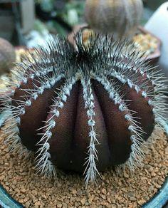 Looks like an astrophytum.