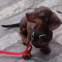 Baby Dachshund Graduate Of Obedience School Showing Off How Clever He Is