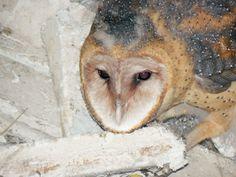 Barn Owl, Tri Supply Delaware City, Owl, Barn, Animals, Converted Barn, Animales, Animaux, Owls, Animal
