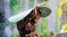 Orangutan ini keren!! so awesome<3