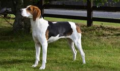 Treeing Walker Coonhounds can be nice companions and family dogs, but they are not right for every home. Learn all about Treeing Walker Coonhounds, including health problems, training, and more.
