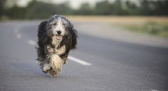 #BREEDS:[Purebred Star] Bearded Collie #dogs