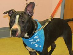 URGENT! Meet Moose - Urgent a Petfinder adoptable Staffordshire Bull Terrier Dog | Mansfield, OH | Hi there, my name is Moose. I was left in the outside cages after hours and found by the staff when...
