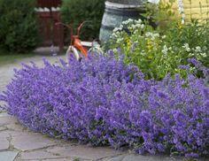 Kantnepeta, Nepeta x faassenii. Älskas av fjärilar och katter ☺ Blommar maj-sept.