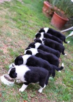 What's better than a Border Collie? Seven Border Collies! Border Collies, Border Collie Puppies, Cute Puppies, Cute Dogs, Dogs And Puppies, Doggies, Corgi Puppies, West Highland Terrier, Australian Shepherds