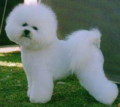 Bichon Frise Dog - like cotton candy :D