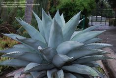 Full size picture of Whale's Tongue Agave