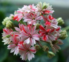 'Mallorka' - кактусовидная пеларгония