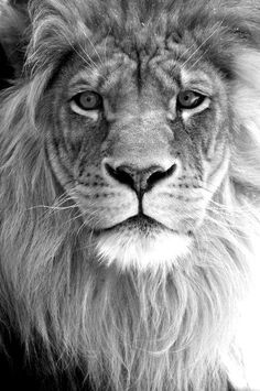 Regal, majestic, serious, eye-to-eye contact, quiet strength.