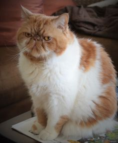 Chester SmooshyFace: Exotic shorthair cats Chester & Garfield