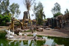 Pelícanos en Bioparc, Valencia