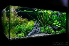 Aquarium Care for the Freshwater Guppy Guppies are maybe the most popular type of freshwater fish to keep in a fish tank. Tropical Fish Aquarium, Tropical Fish Tanks, Aquarium Fish Tank, Planted Aquarium, Cool Fish Tanks, Saltwater Fish Tanks, Aquarium Landscape, Nature Aquarium, Best Aquarium Filter