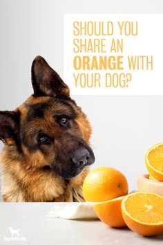 Sure, dogs can eat oranges … but do oranges add to their overall health?  Oranges are full of vitamin C. For people, this is a huge bonus. For dogs … not so much.  Unlike people, dogs naturally produce their own vitamin C. You don't have to add it to their diets.  Oranges also have some great health benefits!   Consider adding an orange slice to your dog's bowl today!