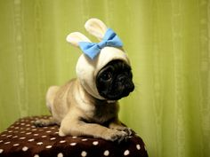 Pug bunny wants to know why you squish his head into strange hats.