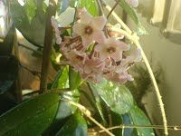 Hoya carnosa - Le succulente3