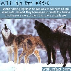 Wolves howling -  WTF! weird & interesting fun facts