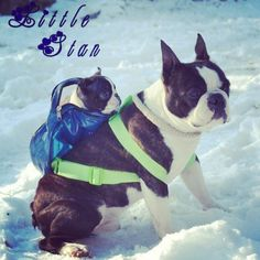 OMG!! Boston terrier carrying a Boston terrier puppy through the snow.
