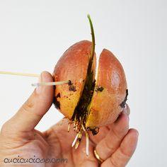 How to grow an avocado plant from seeds - . California Rolls, Planting Seeds, Man, Zucchini, Coconut, Avocado Dessert, Fruit, Avocado Toast, Avocado Salad