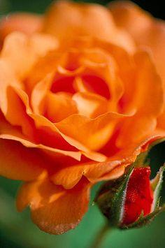 15531  Detail of flower and bud of rosa 'westerland'. Hadpsen garden, somerset