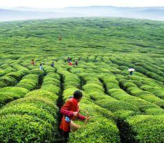 Wuyi Rock Tea in Harvest Season
