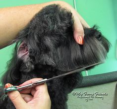 Pet Grooming: The Good, The Bad, & The Furry: Scissoring Heads Goldendoodle Grooming, Dog Grooming Tips, Poodle Grooming, Havanese Puppies, Yorkie, Dog Grooming Styles, Dog Grooming Salons, Grooming Shop, Dog Haircuts