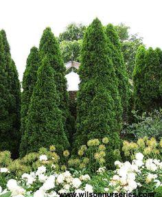 Thuja occidentalis 'Emerald' / Emerald Arborvitae