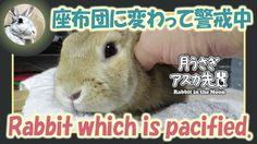 座布団に変わって警戒中【ウサギのだいだい 】 2016年10月17日