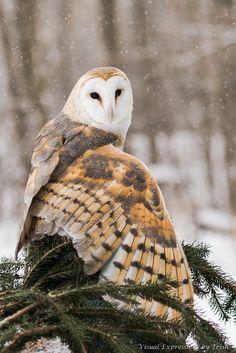 Die Schleiereule (Tyto alba). Die Hälfte der Brut stirbt bereits im ersten Jahr. Räumt ihr eine Chance ein. Lust auf eine bessere Welt? www.dberona.com