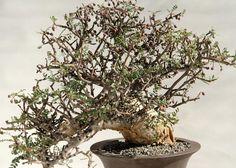 Rare Succulents Bursera microphylla