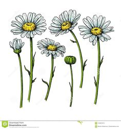 Find Daisy Flower Drawing Vector Hand Drawn stock images in HD and millions of other royalty-free stock photos, illustrations and vectors in the Shutterstock collection. Daisy Flower Drawing, Wildflower Drawing, Flower Sketches, Floral Drawing, Flower Art, Drawing Flowers, Daisy Art, Flower Drawings, Hand Drawn Flowers
