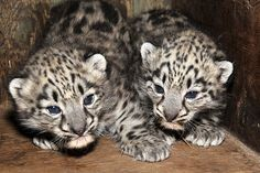 Triplet Snow Leopards Were Born On May 2 At Woodland Park Zoo The Precious Cubs To 7 Year Old Mother Helen And 6 Father Tom Have B