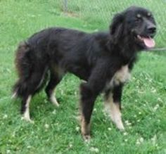 20472539? is an adoptable Australian Shepherd Dog in Cedartown, GA. Female, about 1 year old. Available for adoption NOW!  Friendly - Walks on Leash. Nice dog!  ****URGENT: This shelter is a 'kill' ...