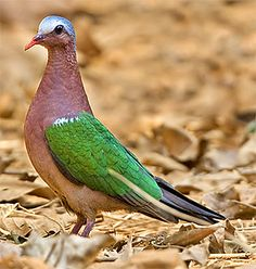 The common emerald dove, Asian emerald dove, or grey-capped emerald dove (Chalcophaps indica) is a pigeon which is a widespread resident breeding bird in the tropical and sub-tropical parts of the Indian Subcontinent and . Kinds Of Birds, All Birds, Birds Of Prey, Love Birds, Pretty Birds, Beautiful Birds, Animals Beautiful, Exotic Birds, Colorful Birds
