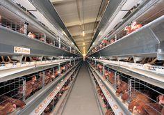 Sistem Kandang Closed House Untuk Ayam Petelur ?