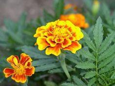 """African Marigolds - Full Sun - Mounding Annual - Water: Low once established - Size: 18-12"""" H x 10-12"""" W - Spacing: 8-12""""  http://www.almanac.com/plant/marigolds"""