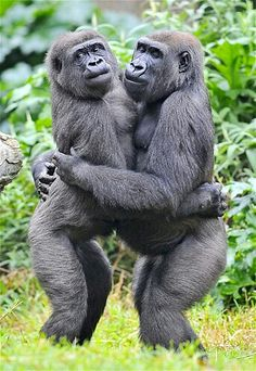 Resim: A western lowland gorilla goes in for a smooch. Primates, Animals And Pets, Baby Animals, Funny Animals, Cute Animals, Strange Animals, Photos Singe, Funny Monkey Pictures, Baby Gorillas