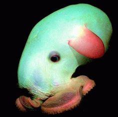 Dumbo octopus. Deepsea-MarianaTrench4  #ocean #sea #deepsea #marinelife  #nature #science #octopus