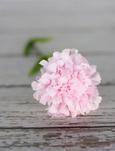 Hey, I found this really awesome Etsy listing at https://www.etsy.com/listing/113234229/pink-carnation-silk-flower-diy-wedding