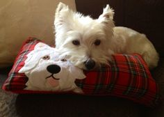 Westie Abby on her Westie pillow from Scotland!  This is so sweet~where can I buy the pillow?