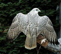 Que cool diseño tiene este pajaro en la espalda!!  se paso lo lindo....naturaleza hermosa