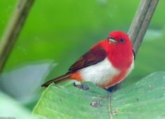 Scarlet-and-white Tanager (Chrysothlypis salmoni) | Colombia, Ecuador