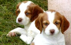 """In 1934, the dog officially became a breed within the AKC and were known as the Brittany Spaniel until the word """"Spaniel"""" was dropped in 1982."""