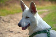 Our Swiss White Shepherd Oscar ❤️