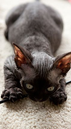 Photos of our Devon Rex cats and kittens …