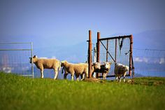 Sheeps in Norwegian landscape Norway, My Photos, Landscape, Animals, Blogging, Scenery, Animales, Animaux, Animal