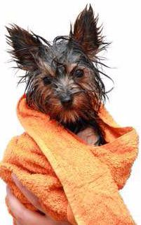 Causes and Solutions for Yorkie ITCHY SKIN