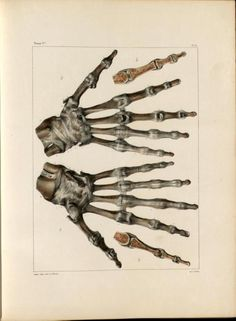 Bones and ligaments of the wrist and hand